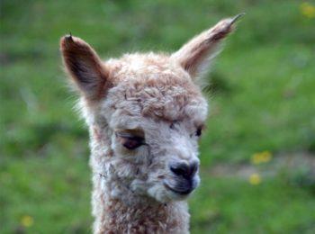 Unser neues Alpaka Cria Carolina