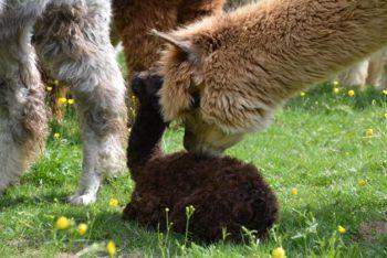 Kleines Cria mit der Alpaka Mama