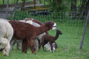 Kleines Cria mit Alpaka Herde auf der Weide