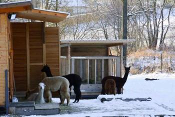 Unsere Alpakas genießen den ersten Schnee