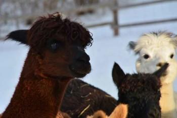 Alpakaherde im Schnee