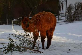 Alpaka Moonlight knabbert im Schnee