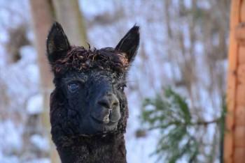 Alpaka Neytiri blickt aufmerksam