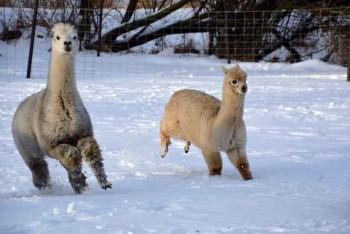Unsere Alpakas tollen im frischen Schnee