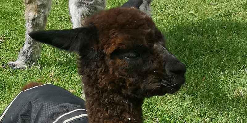 Junges Alpaka-Cria auf der Weide