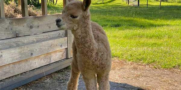 Alpaka Cria bei der Futterstation